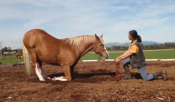 """Beim Knien """"kniet"""" das Pferd auf beiden abgewinkelten Vorderbeinen. Dabei drückt es den Brustkorb vom Boden weg, so daß die Unterarme sich der Lotrechten nähern. Die Hinterbeine stehen – mehr oder weniger gewinkelt – lotrecht unter dem Hüftknochen, oft sogar davor, der Rücken wird dadurch stark gewölbt."""